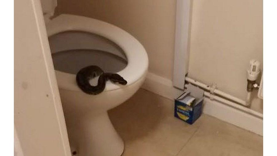 Professora vai à casa de banho durante a noite e encontra píton na sanita